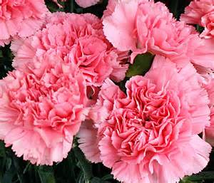 carnation carnation is the birthday flower for january but it gets