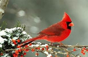 winter cardinal painting by shere crossman
