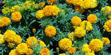 Tanaman Hias Bunga Marigold Berkualitas 8 manfaat sehat di balik indahnya bunga marigold merdeka
