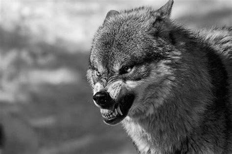 Kaos Big Bad Wolf angry wolf wolves wolves and angry wolf