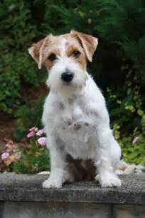 Rough hair jack russell terrier images amp pictures findpik