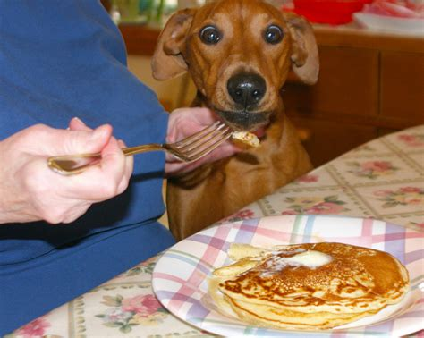 can dogs pancakes 17 dogs who flippin pancakes barkpost