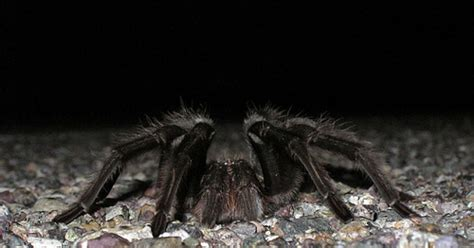 spiderling curly hair spiderlings tarantula care sheet ecydysis articles keeping exotic pets