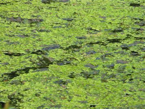 Aquarium Algen Entfernen Hausmittel by Kupfer Gegen Algen Gallertartige Gebilde Auf