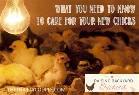 How To Care For Backyard Chickens Raising Backyard Chickens What You Need To On How To Care For Your New