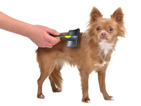 Hair Chihuahua Shedding by Shedding How To Minimize Shedding In Your Home