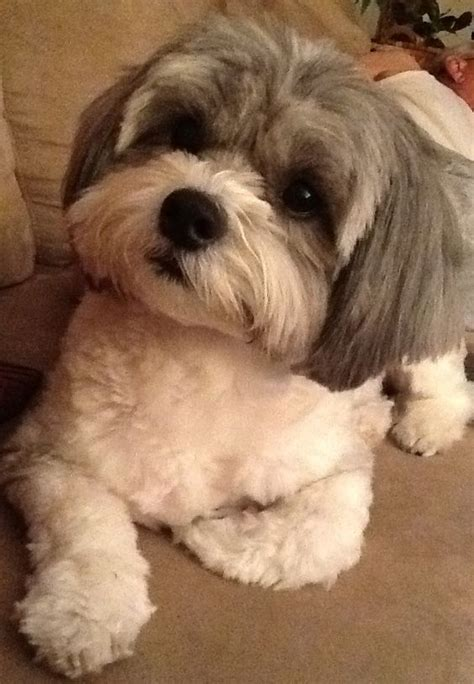 shihpoo haircut shih poo toby haircut ideas pinterest belle shih