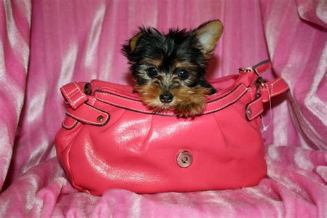 yorkie puppies for sale in mississippi gorgeous small yorkie puppies for sale adoption from mississippi gulf coast adpost