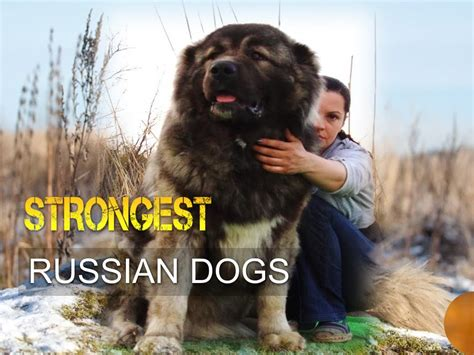 russian dogs five strongest russian dogs