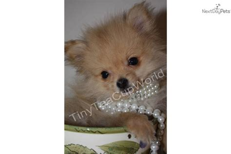 tiniest tiny micro teacup pomeranian puppy pomeranian puppy for sale near arizona e859d98a 09c1