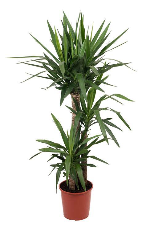 bq yucca tree  plant pot departments diy  bq