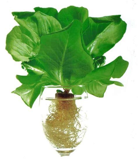 coltivazione idroponica in casa idroponica coltivare con sapienza senza pesticidi e