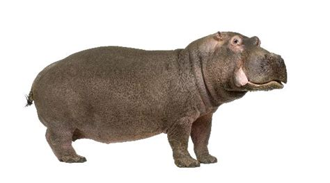 hippopotamus in white background hippopotamus facts and