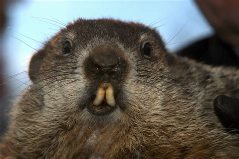 groundhog day live is near punxsutawney phil doesn t see his shadow