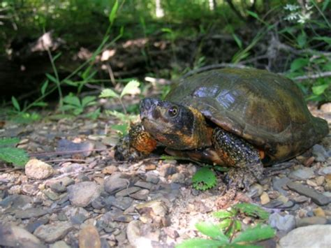 Sk Turtle wood turtle named to 10 most endangered list virginia