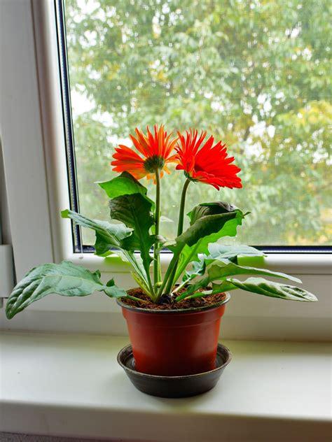 gerbera care indoors   grow gerbera daisy plants