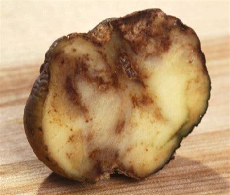 potato blight causes identification treatment potato blight