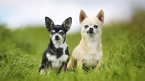 how much are chihuahua puppies how much do chihuahua dogs cost reference