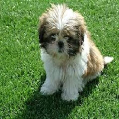 years chart for shih tzu shih tzu reviews comments and other dogs shadow