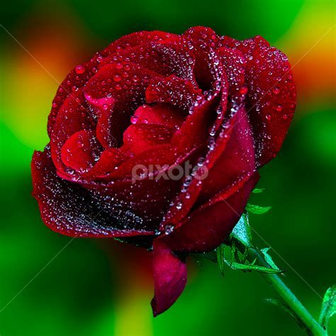 photo collection red roses best flowers