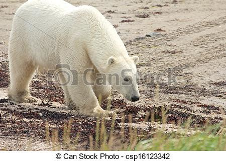 stock photo of sniffing polar at the curious canadian polar csp16123342 search