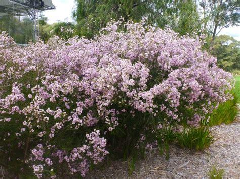 flower shrub chamelaucium uncinatum