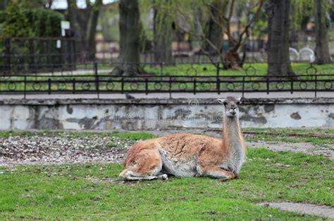 stock photo image  aviary artiodactyla mammal