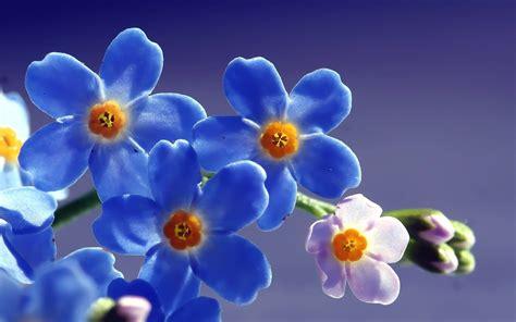 imagenes flores no me olvides blue flower weneedfun