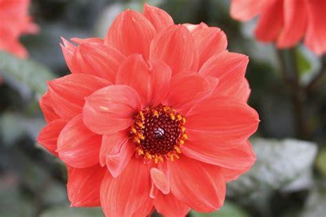 imagenes de flores mas bonitas flores hermosas dalias im 225 genes y fotos