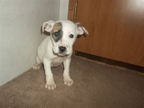 boxer puppies craigslist pin by miranda dowell on pets