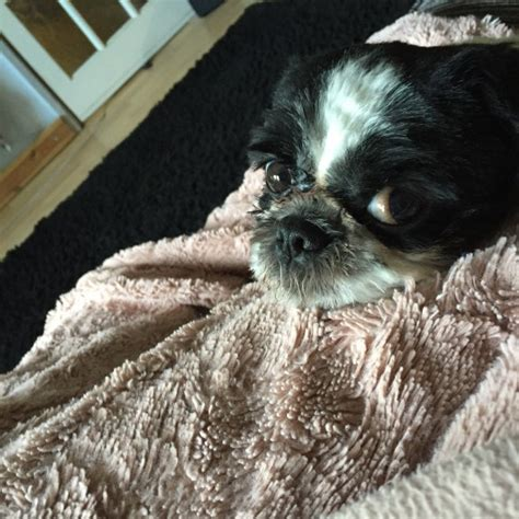boy shih tzu for sale boy shih tzu for sale wednesbury west midlands pets4homes