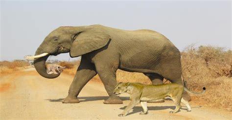 kruger national park  elephant helps lioness carry cub  km ayuppcom