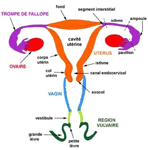 Pavillon Uterus by Ut 233 Rus V L C Research Ophys