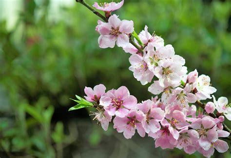 fiori di pesco fiori di pesco quando sbocciano e come coltivarli garden4us