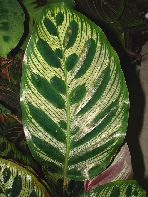 Tropical Foliage House Plants Care - plants amp flowers 187 peacock plant