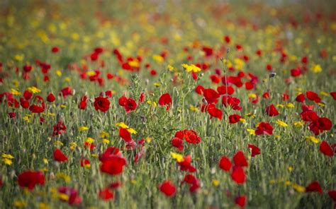 best of popy how to grow poppies the telegraph