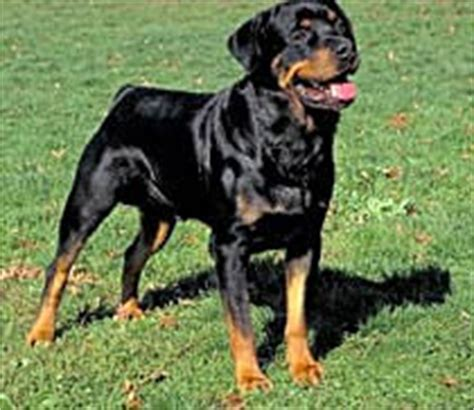 black and rust rottweiler rottweiler care a lot pet supply