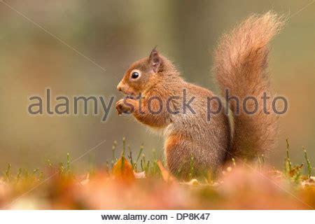 scoiattolo alimentazione scoiattolo foto immagine stock 74832084 alamy