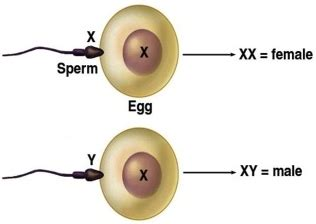 biology - Do sperm that carry male chromosomes swim faster ... Y Chromosome Sperm