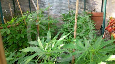canapé d exterieur culture intensive de cannabis en ext 233 rieur