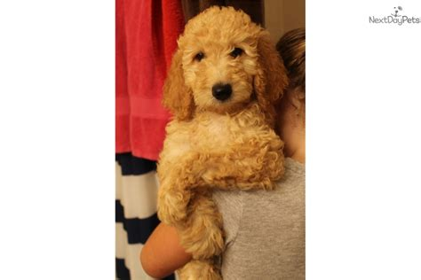 Goldendoodle Puppy For Sale Near Atlanta
