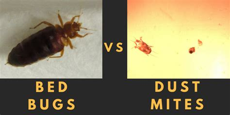 bed vs bed bugs house dust mites what s the difference