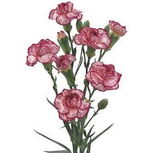 Burgundy Vase Extensive Range Of Fresh Cut Wholesale Spray Carnations