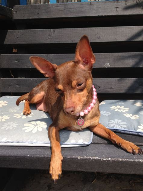 chocolate miniature pinscher puppies for sale chocolate and miniature pinscher x chihuahua wickford essex pets4homes