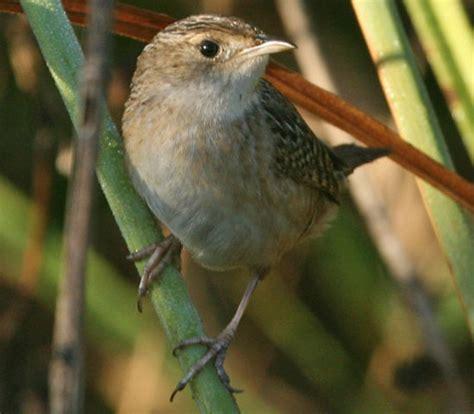 bird species sedge wren