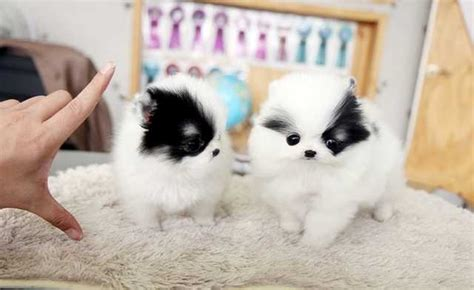 teacup pomeranian breeders australia teacup pomeranian puppies tiny for sale adoption from new south wales sydney