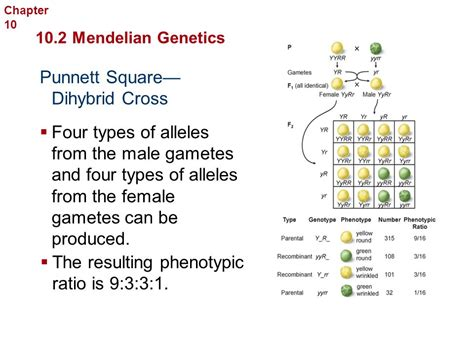 section 2 mendelian genetics section 11 2 probability and punnett squares curly hair