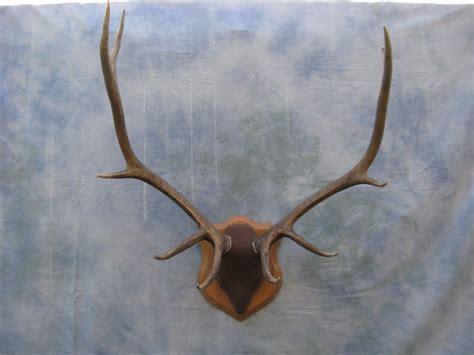 elk antlers mounted www pixshark images galleries