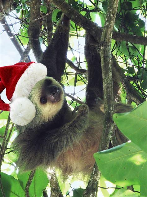 sloths preparing  christmas animals christmas  beanocom