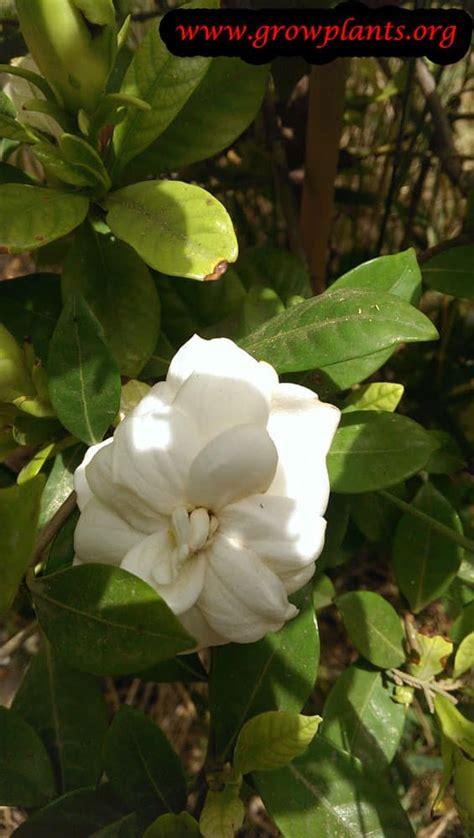 gardenia jasminoides   grow care